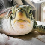 Green Turtle 'Hendrix' released with satellite tag