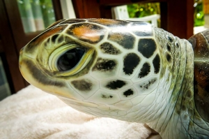 Green Turtle 'Hendrix' released with satellite tag (Island Diary – September)