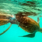 Olive Ridley turtle, found entangled in a fish net