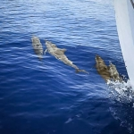 Spinner Dolphins bow-riding