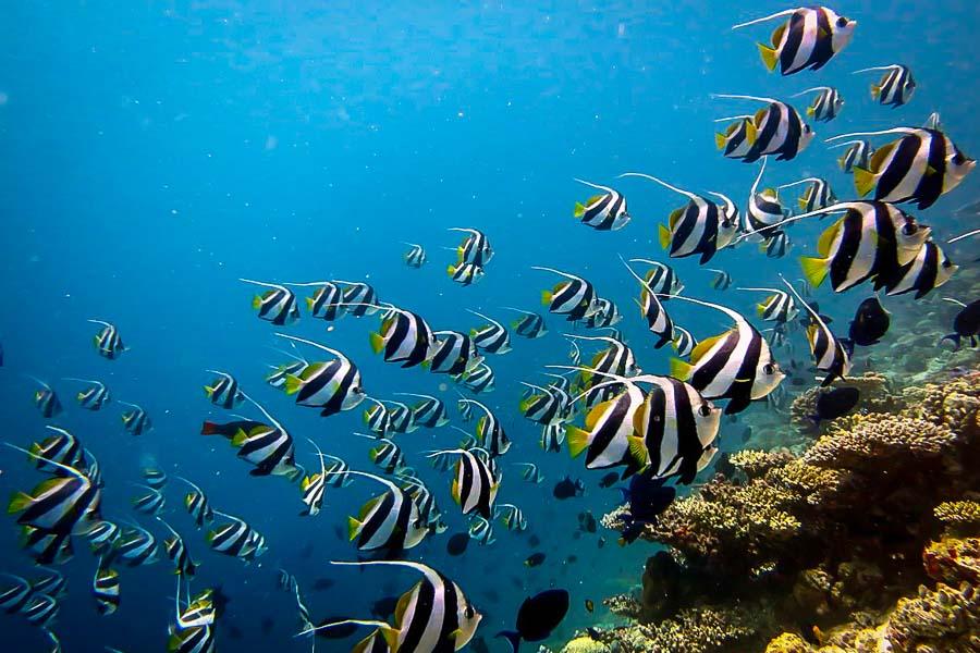 Wikipedia - Baa Atoll Maldives - Heniochus diphreutes