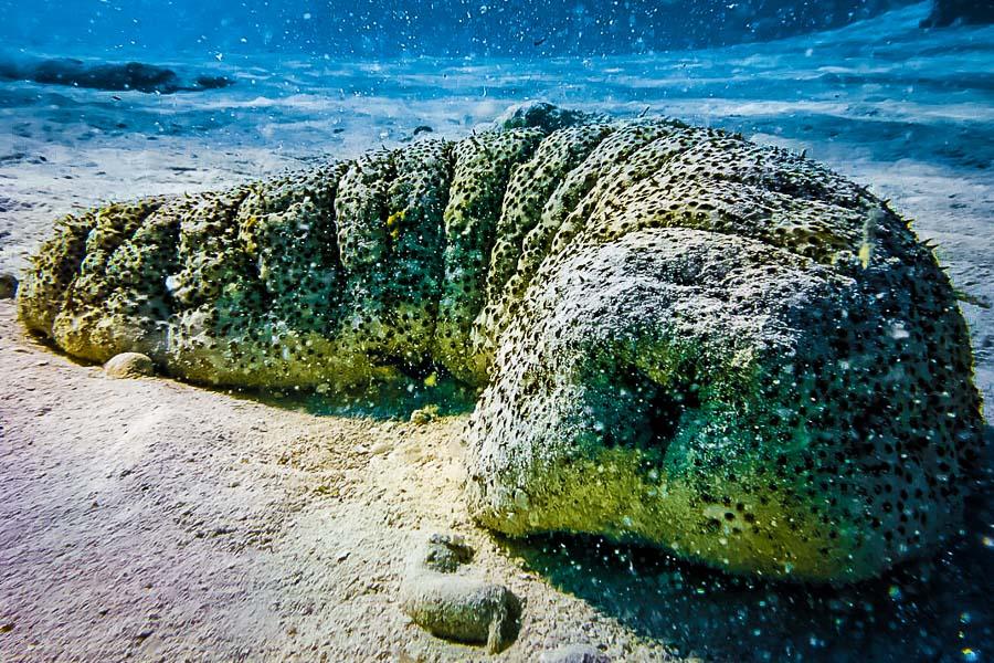 Wikipedia - Baa Atoll Maldives - Holothuria fuscopunctata