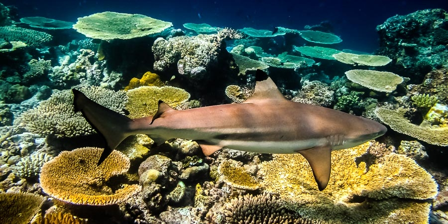 Coastal Populations of the Blacktip Reef Shark