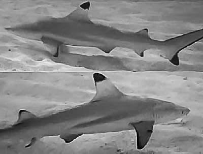 Blacktip Reef Shark photo identification project, Kuda Huraa