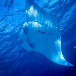 Manta ray feeding in Baa Atoll