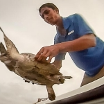 Rescued Olive Ridley Turtle OR112 - release day