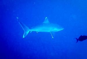 Silvertip Shark, Rasdhoo (Marine Biology Aboard the Four Seasons 'Explorer')