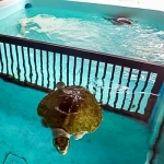 Turtle rescue patients Elsa and Lefty in shared pool