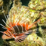 White-lined Lionfish (Pterois radiata)