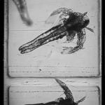 Fish Lab - Artemia under microscope closeup