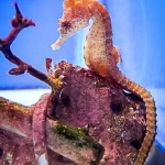 Seahorse in our Fish Lab tank