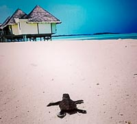 Hawksbill turtle hatchling, spotted on Kuda Huraa beach