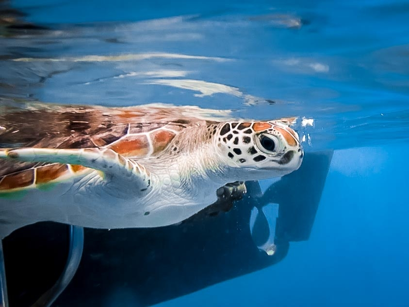 Sea Turtle Conservation in the Maldives