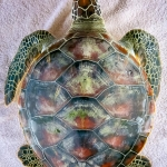 Jaz - Head Start Green Turtle (pre-release) [0773]