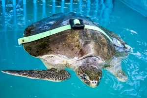 Kerry – Olive Ridley turtle, with weight balance (Sea Turtle Conservation in the Maldives)
