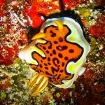 Wikipedia - Marine Life of Baa Atoll (Goniobranchus gleniei)