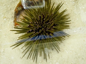Burrowing sea urchin [Echinometra mathaei]