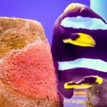 Clarks Clownfish - female laying eggs