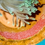 Maldivian clownfish eggs