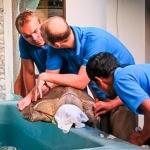 Olive Ridley turtle Kerry - journey to Landaa Giraavaru