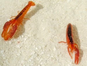 Snapping Shrimp [Alpheus lottini]