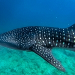 Whale shark (S.Ari Atoll, Maldives)
