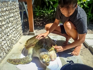 Cleaning Ossy the Olive Ridley Turtle (Working as an Intern at Marine Savers)