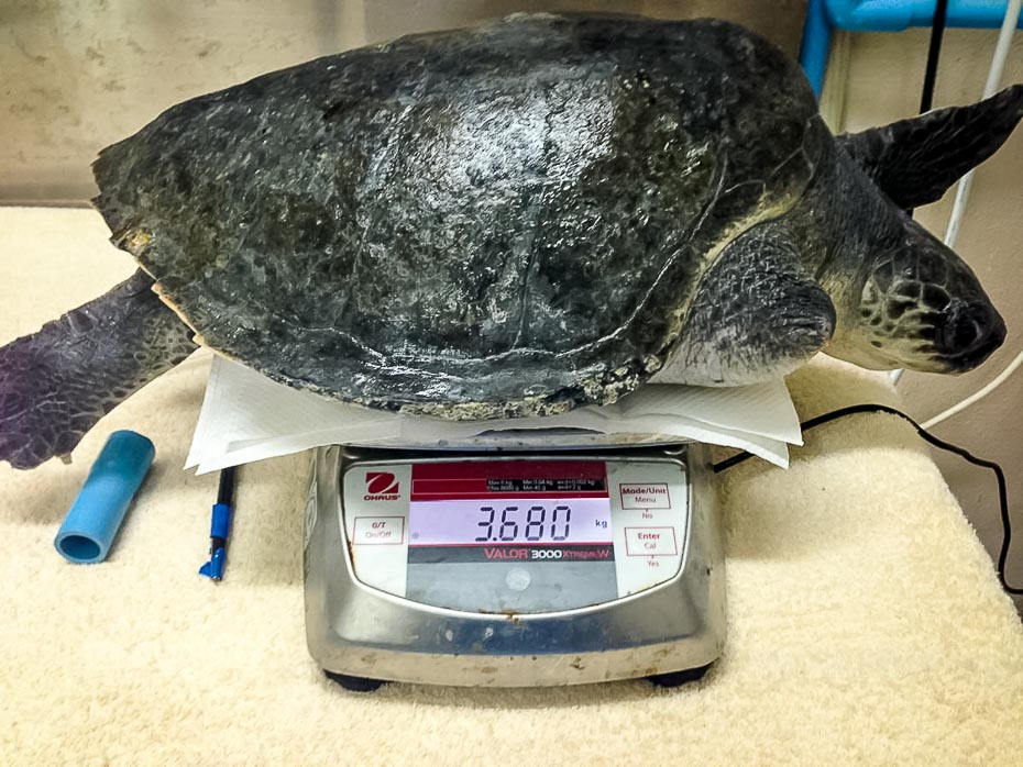 Weighing Lefty the Olive Ridley Turtle