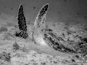 Green turtle swimming (Monochromatic Marine Magic)