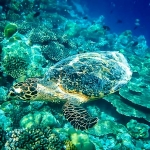 Hawksbill Turtle swimming near the reef at Madhirivaadhoo