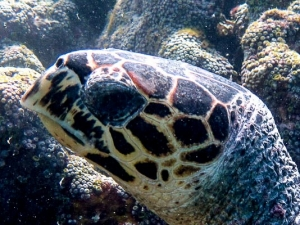 Maldives National Sea Turtle ID Programme - left side turtle facial scutes