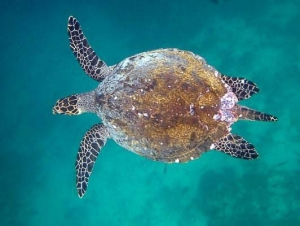 MNSTIP - Mature MALE Hawksbill turtle - note the long tail [ID 2014.11]
