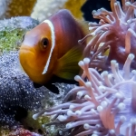 Marine Aquarium - Maldivian Clownfish with eggs