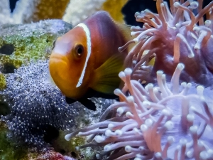 Marine Aquarium – Maldivian Clownfish with eggs (Fishy Tales: from Lab to Aquarium to Ocean)