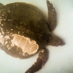 Olive Ridley Turtle Rescue - Mamun