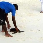 Olive Ridley turtle Ismile - beach