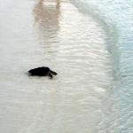 Olive Ridley turtle Ismile - ocean-bound