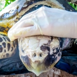 Olive Ridley turtle Rescue