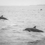 Spinner Dolphins close to Reethi Beach