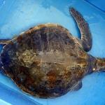 Treatment of Olive Ridley turtle Lefty - iodine