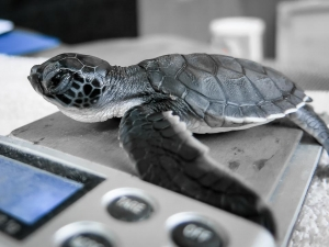 Kuda Huraa's Head start turtle hatchling programme – weighing new arrivals (Sea Turtles – Rescues and Hatchlings)