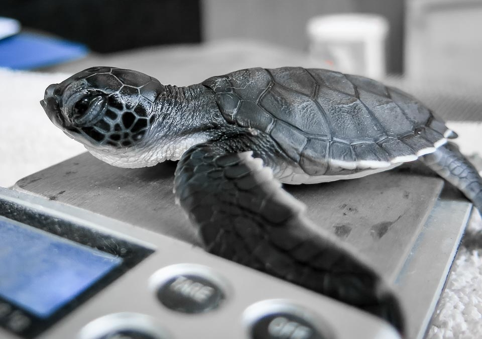 Sea Turtles – Rescues and Hatchlings