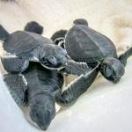 Head start turtle hatchlings