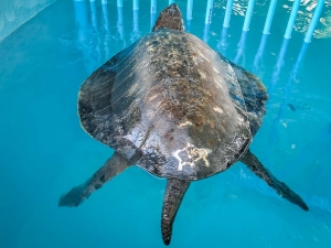 Buddy – rescued Olive Ridley turtle – note his long tail (male characteristic) [12-Mar-15] (Island Diary)