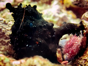 Frogfish (Join our Marine Biologist aboard the Four Seasons Explorer)