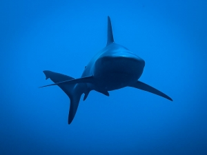 Grey reef shark (Join our Marine Biologist aboard the Four Seasons Explorer)