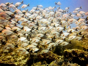 Humpback snapper school (Join our Marine Biologist aboard the Four Seasons Explorer)