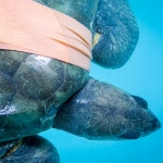 Maria - rescued Olive Ridley turtle in recovery