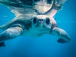 Olive Ridley rescue turtle 'Maria' (LO.059)