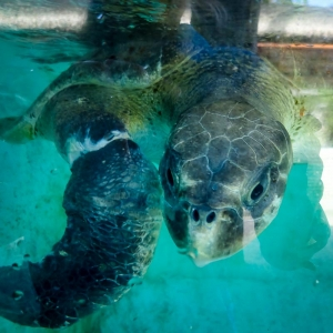 Rescued Olive Ridley turtle 'Bonita' – in our recovery pool (Island Diary)